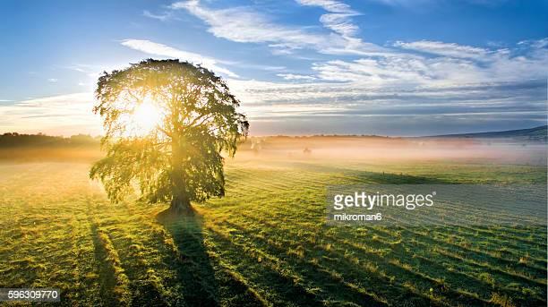 Single tree at sunrise time on foggy morning.