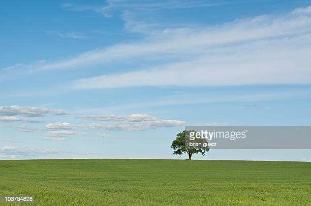 Single Tree in a Green Field with Blue Sky