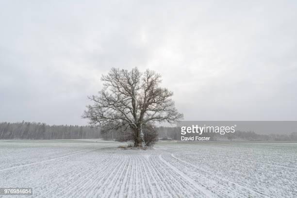 single tree in field in snow, morga hage, uppsala, sweden - eén boom stockfoto's en -beelden