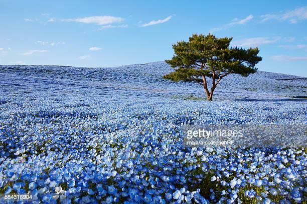 single tree in field of nemophila - 茨城県 ストックフォトと画像