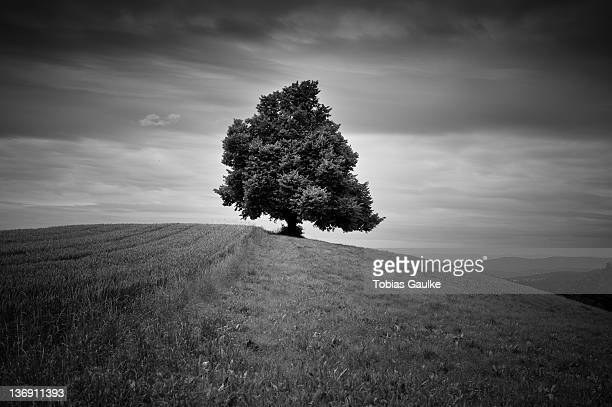 Single tree in fields