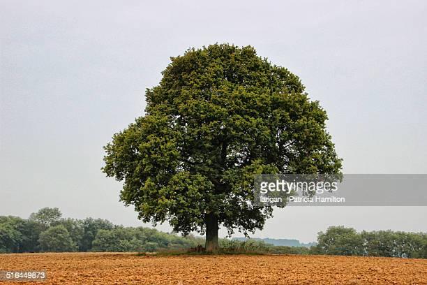 Single tree in summer
