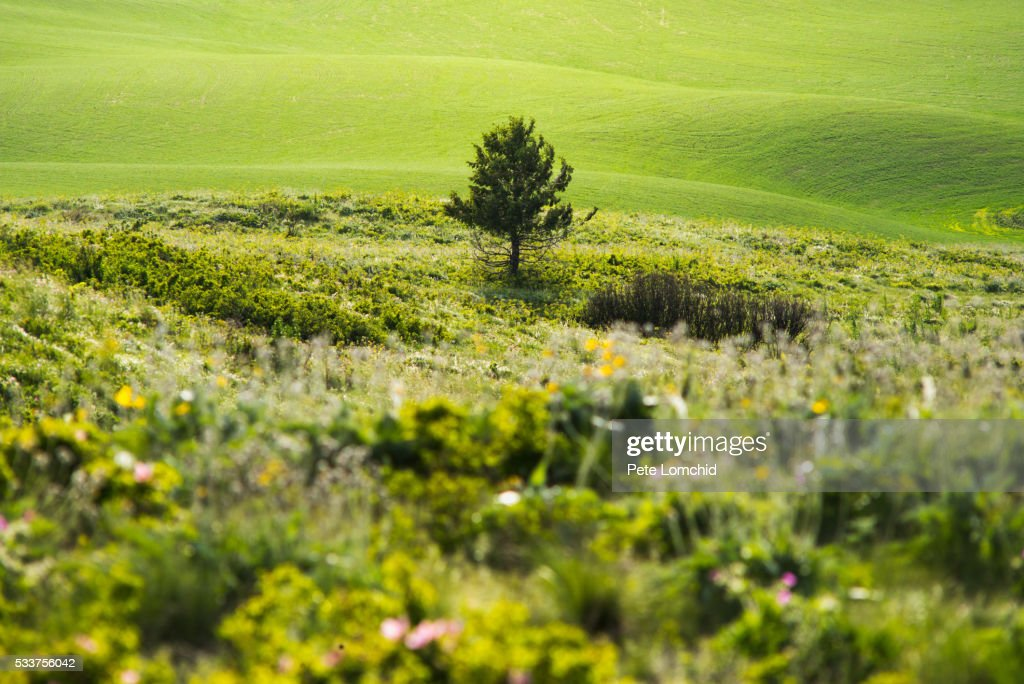 single tree in the feild : Foto stock