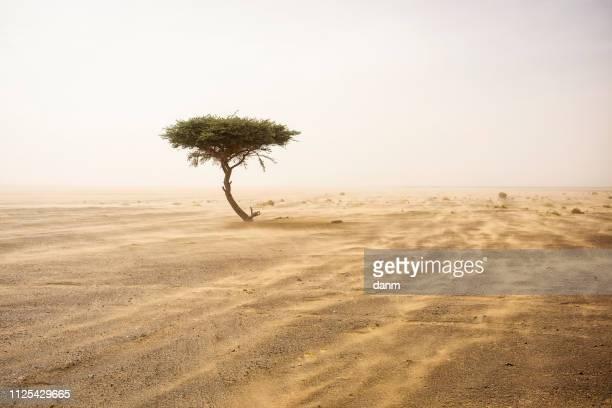 single tree in the middle of desert sahara with sands storm - konvoi stock-fotos und bilder