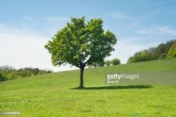 single tree in the middle of green lawn, kahlenberg hills, austria - soleggiato foto e immagini stock