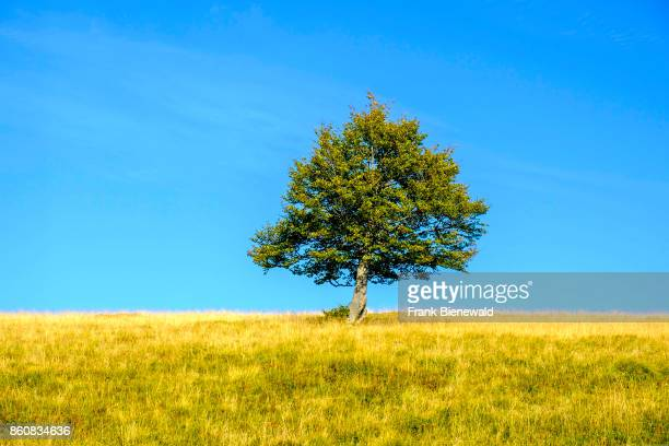 A single tree is growing on a green meadow in the Alsace hills