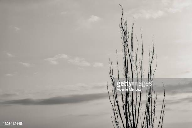 a single tree leafless - vicente méndez fotografías e imágenes de stock