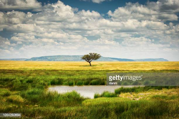 single tree near to a lake and lot of grass aroud and beautiful clouds in background in national park of serengeti tanzania - africa stockfoto's en -beelden