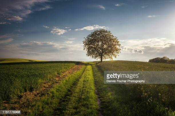 single tree on a field in spring in germany - single tree stock pictures, royalty-free photos & images