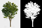 single tree on transparent picture with clipping path