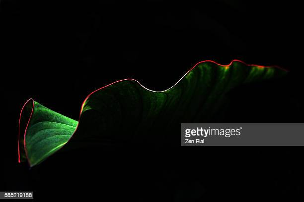 single tropical leaf showing graceful red outline of leaf edge on black background - low key - lush stock pictures, royalty-free photos & images