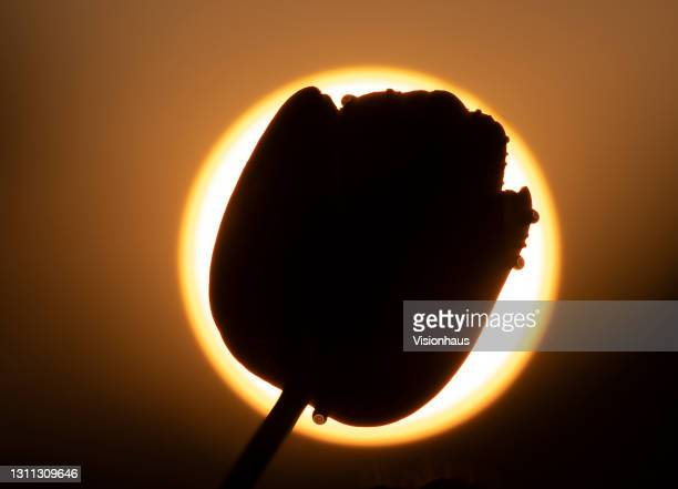 Single Tulip 'Queen of the Night' silhouetted against the setting sun on May 6, 2020 in Long Compton, United Kingdom.