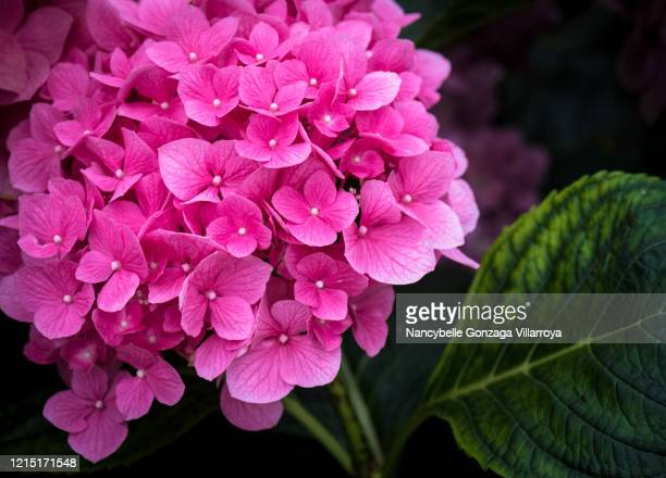 a single vibrant pink hydrangea flower head in full bloom in a garden - ショッキングピンク ストックフォトと画像