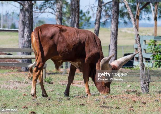 Single watusi bull grazing.