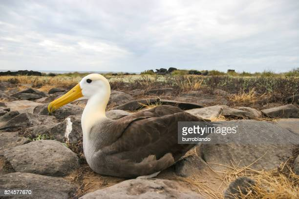 A single waved albatross broods over its rocky nest on the Galapagos Islands