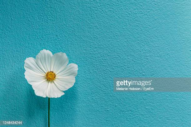a single white cosmos flower against a textured blue background - flower stock pictures, royalty-free photos & images