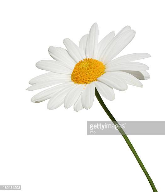 Single white daisy isolated on white background