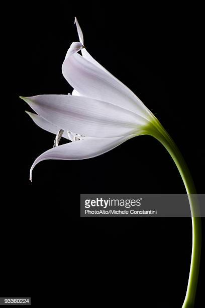 Single white lily, side view