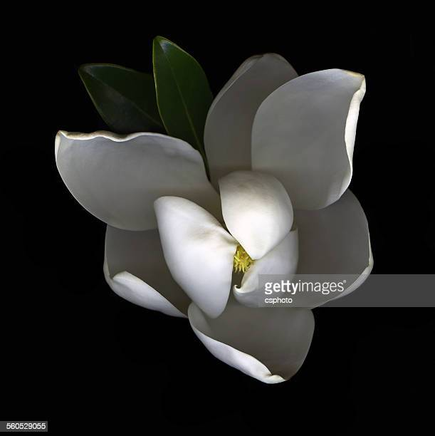 Single white Magnolia isolated on black background