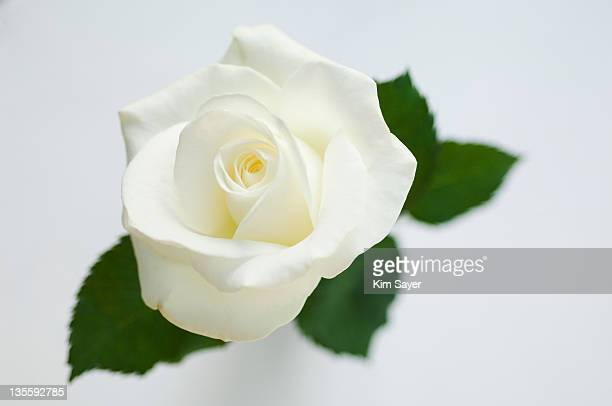 Single white rose (Rosa)