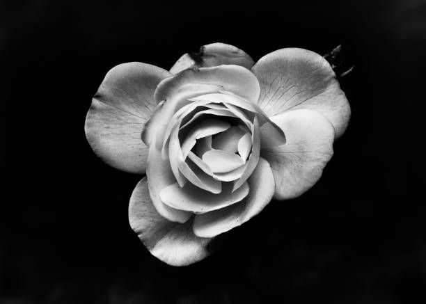 Free white flower black background images pictures and royalty single white rose with black background white orchid flower mightylinksfo