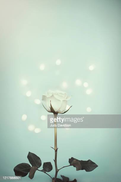 single white rose with on aqua background with copy space - thorn stock pictures, royalty-free photos & images