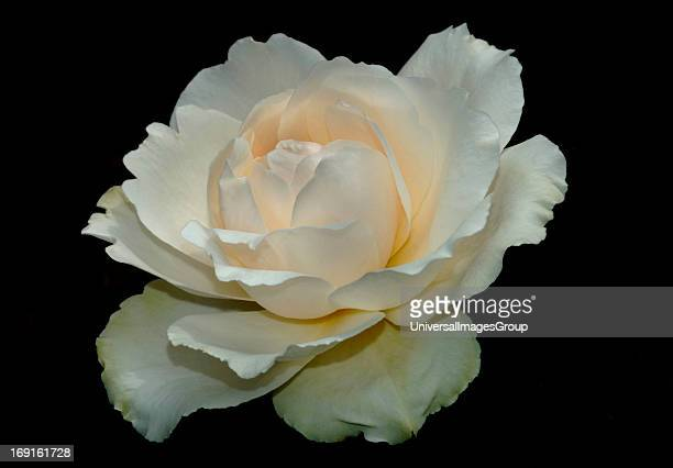A Single White RoseNamed The Princess Of Wales