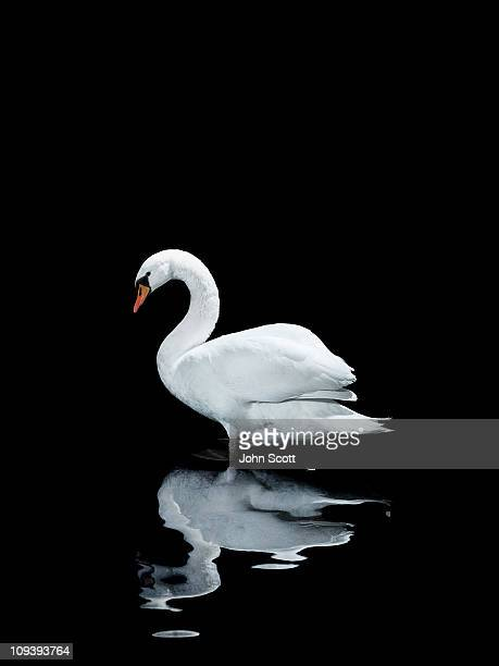 A single white swan looking at its reflection