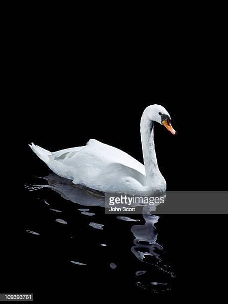 A single white swan