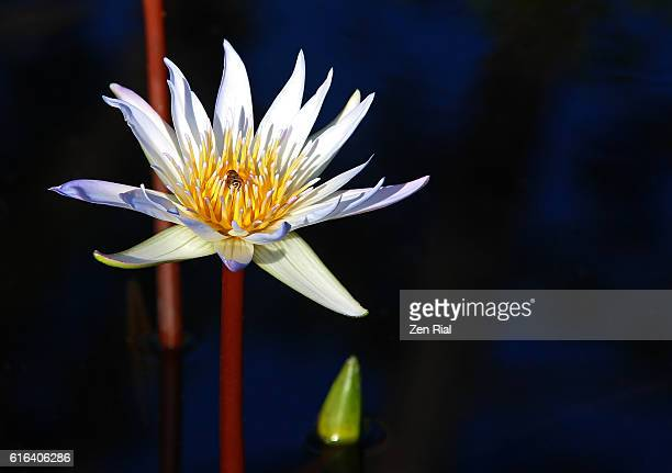 Single white water lily blossom and a visiting insect against dark background