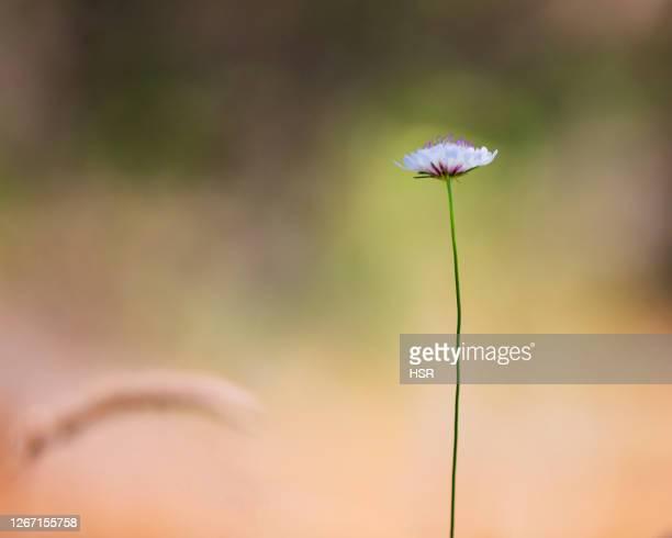 single wildflower - ウィランガ ストックフォトと画像