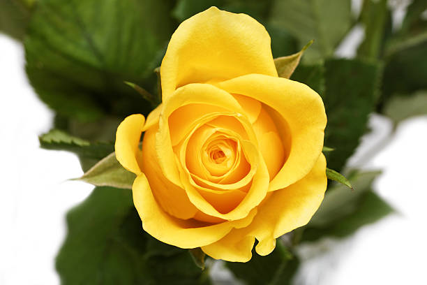 Single Rose Clipart: Free Single Yellow Rose Images, Pictures, And Royalty-Free