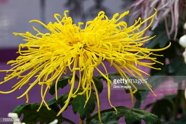 Thin petals stock photos and pictures getty images single yellow flower with thin petals mightylinksfo