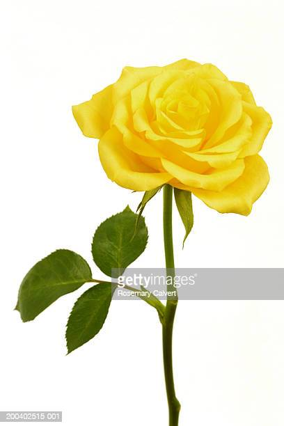 Single yellow rose (Rosa sp.), close-up