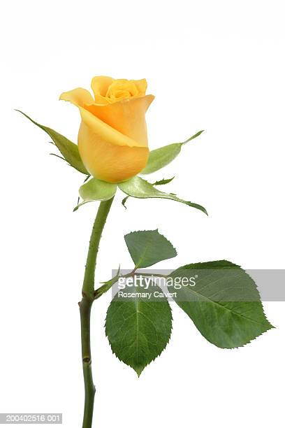 single yellow rose (rosa sp.), close-up - single rose stock photos and pictures