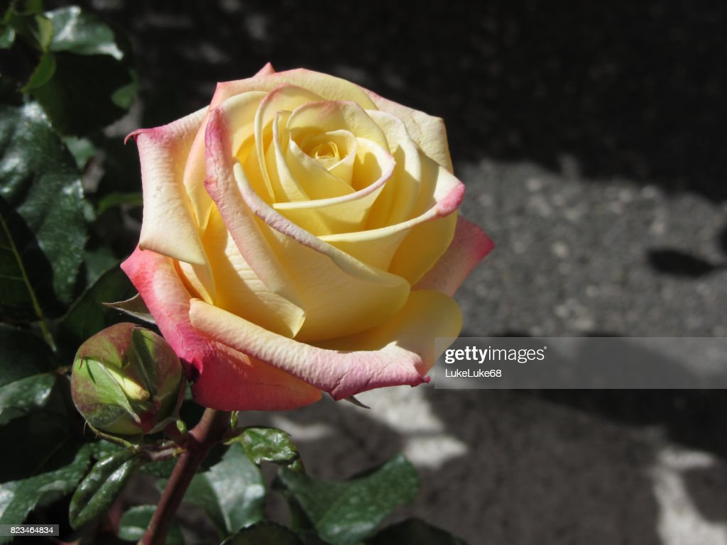 Single Yellow Rose Flower In Spring Stock Photo Getty Images