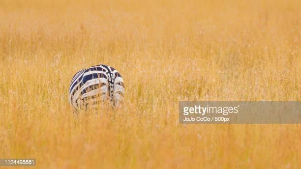 singly zebra in grassland - jo wilder stock-fotos und bilder