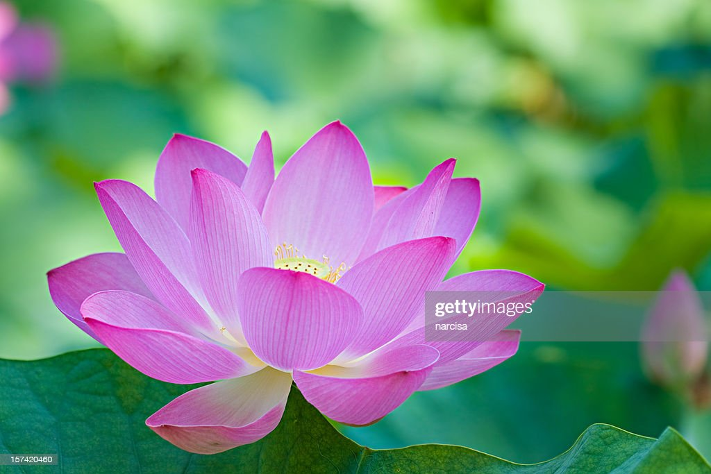 lotus flower göteborg