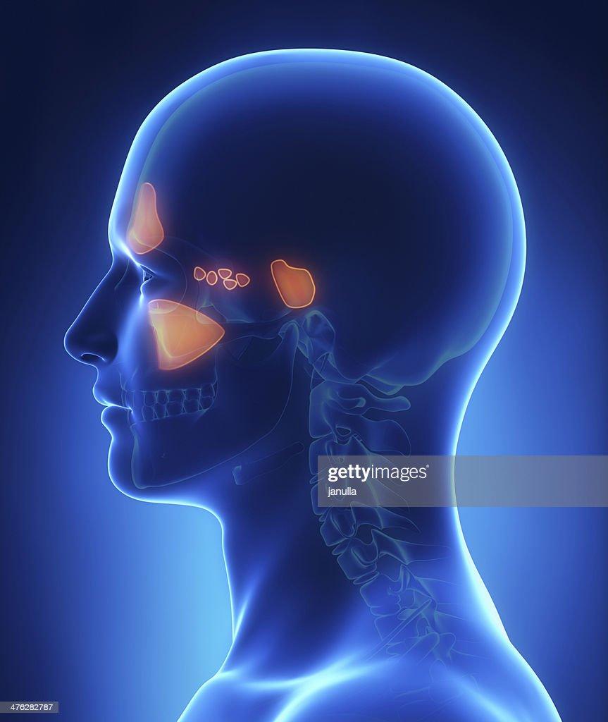Sinus Anatomy Stock Photo | Getty Images