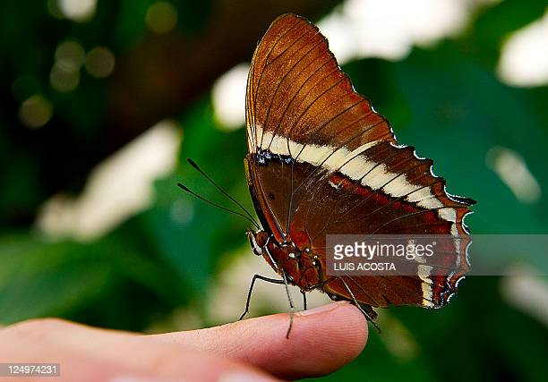 A Siproeta Ephaphus butterfly lands on the Finger of a man at the Botanic Garden Jose Celestino Mutis during a exhibition in Bogota on September 14...