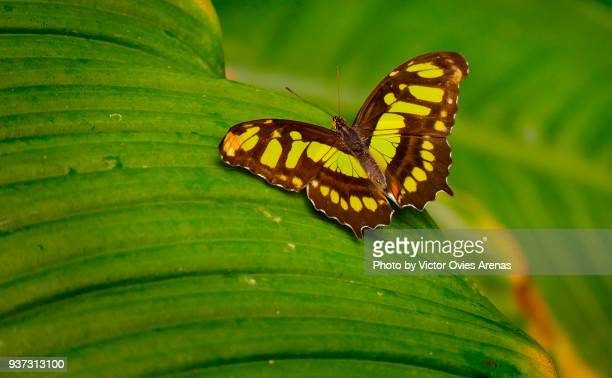siproeta stelenes malachite butterfly - malachite stock pictures, royalty-free photos & images