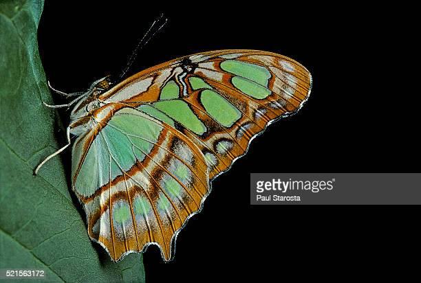 siproeta steneles (malachite butterfly) - 孔雀石 ストックフォトと画像