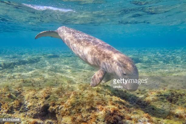 sirenia calf / dugong baby in red sea - marsa alam - egypt - dugong stock pictures, royalty-free photos & images