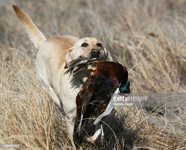 Sis a yellow Lab owned by Greg Wyrick does her thing with a pheasant November 13 in Kiowa County Kansas