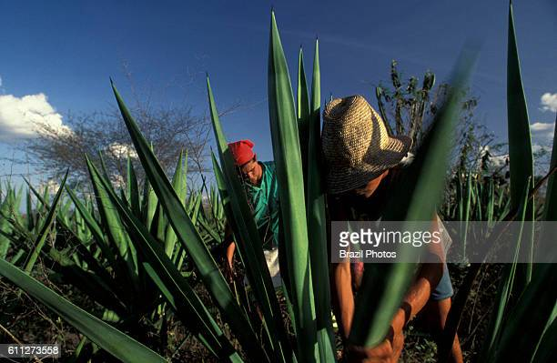Sisal leaves cutting for the thread industry family work small landowner in rural area of Valente city Bahia State northeastern Brazil