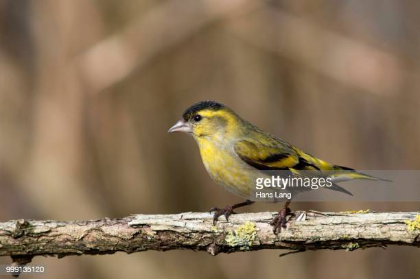 siskin (carduelis spinus), male, untergroeningen, baden-wuerttemberg, germany - vista lateral stock pictures, royalty-free photos & images