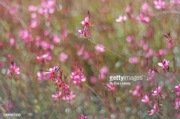 siskiyou pink flowers - siskiyou stock pictures, royalty-free photos & images