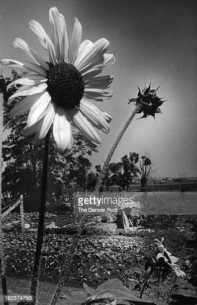 JUL 31 1972 AUG 3 1972 Sister Plandina Works in Her Garden At The Convent Of St Walburga