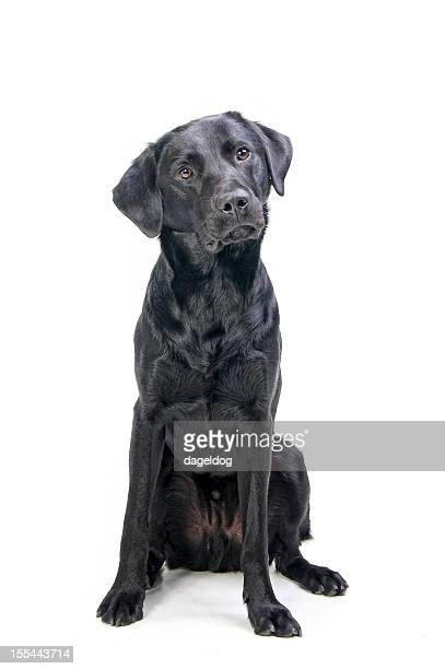 sit and listen - black labrador stock pictures, royalty-free photos & images