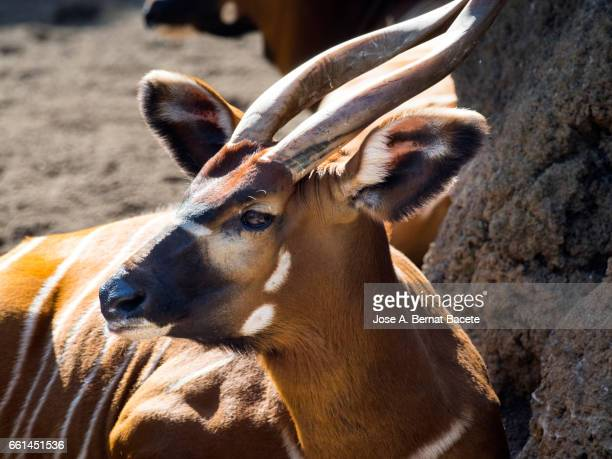 sitatunga antelope close up side view, male, (tragelaphus spekii) - acostado boca abajo stock pictures, royalty-free photos & images